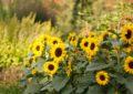 Květiny mají pěknou vyřidilku, promluví na výstavě Květomluva